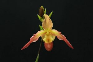Phragmipedium Saint Peter